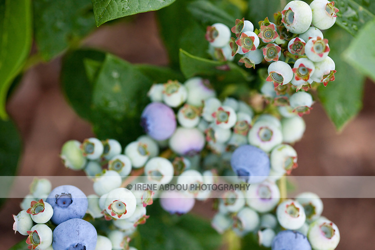 Blueberries grow on the vine at Butler Orchard in Germantown, Maryland.