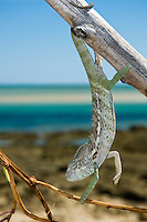 Spiny chameleon hanging on stick with sea in the background