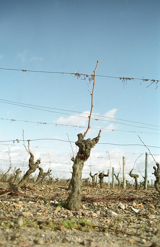 Guyot pruned vines in the vineyard. Cabernet Franc. Bourgueil, Loire, France