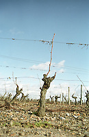 Guyot pruned vines in the vineyard. Cabernet Franc. Bourgueil, Loire, France