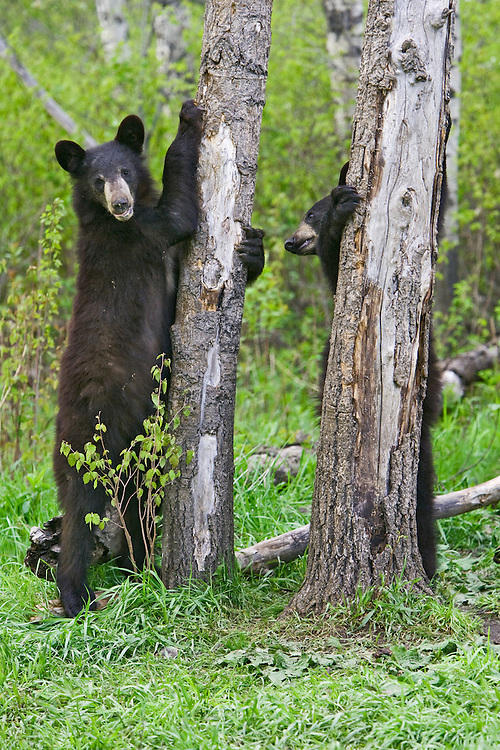Pair of Black Bears standing against and by a couple of trees
