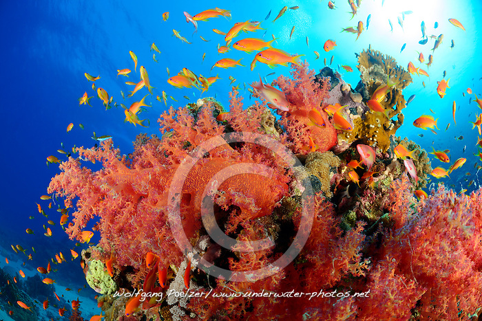 Dendronephthya hemprichi, Pseudanthias squammipinnis, Coral reef with Hemprichs Red Soft Tree Coral and Orange Basslet or Sea Goldie, Hurghada, Insel Giftun Riff, Rotes Meer, Ägytpen, Giftun Island Reef, Red Sea, Egypt