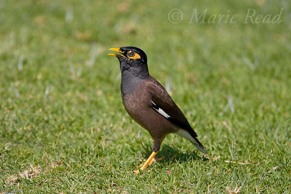 Common Mynah (Acridotheres tristis), Sydney, Australia (introduced)
