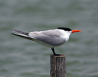 Caspian tern in breeding plumage