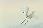 Great Egret braking to land ,Ardea alba, Southern USA.