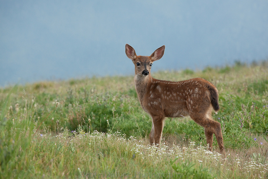 Fawn at Hurricane Ridge, Olympic National Park