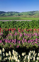Flower crop grown for the seeds - Watsonville, California.