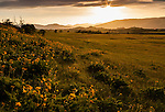 The sun begins to set behind the hills along the Columbia River Gorge in Oregon in a grassy meadow filled with yellow balsamroot flowers.