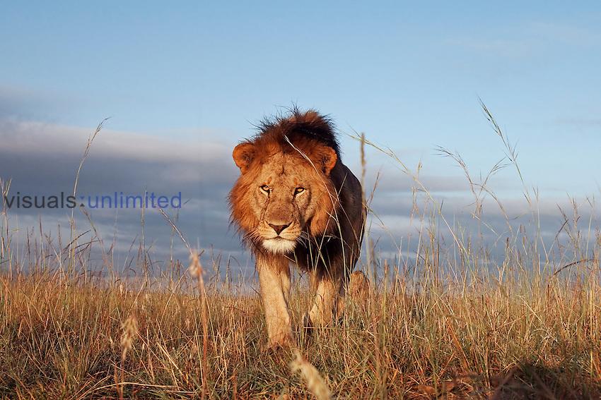 Young male African Lion  (Panthera leo), Masai Mara, Kenya.