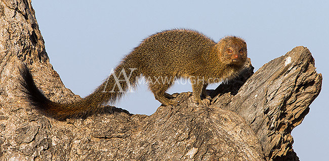 We found a pair of slender mongooses living in a tree in Kruger.