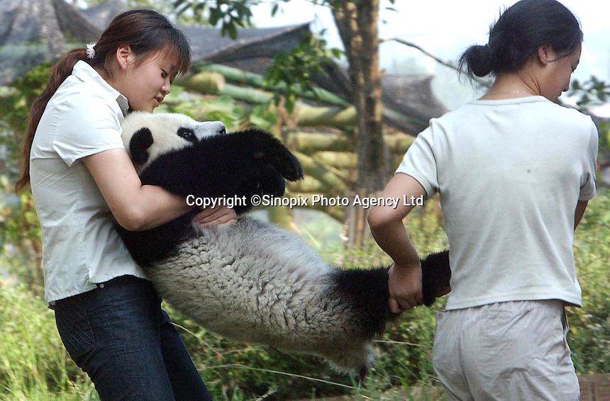 Chengdu Giant Panda Research and Breeding Institute.