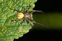 Vierfleck-Kreuzspinne, Vierfleckkreuzspinne, Männchen, Kreuzspinne, Araneus quadratus, fourspotted orbweaver, Araneidae, Radnetzspinnen, Kreuzspinnen, orbweavers, orb-weaving spiders
