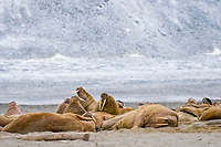 Pod of Atlantic walruses, Odobenus rosmarus rosmarus, on a beach, Phippsoya, Sjuoyane, Svalbard Archipelago, Svalbard and Jan Mayen, Norway, Europe