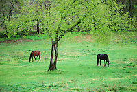 Two horses grazing in field next to tree in Charlottesville, Virginia