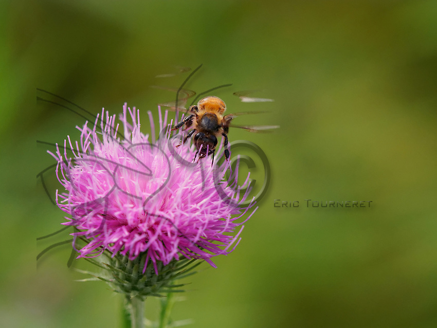 honey bees laying on thistle