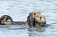 Two Southern Sea Otter (Enhydra lutris nereis).  California Coast.