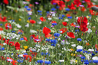 Blumenwiese, Beet, Blumenbeet, Wildkräuter-Wiese, Wildkräuter, bunte Vielfalt, mit Mohn, Kornblumen, flowerbed, flower-bed, flower bed, flowery meadow, Flower meadow, poppy, cornflower, bluebottle
