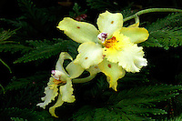 Orchid photographed at Hawaii Tropical Botanical Garden, Hilo, Hawaii.