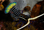 Painted Spiny  Lobster, Panulirus versicolor, Lembeh Straits, Sulawesi Sea, Indonesia, Amazing Underwater Photography