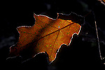 Red oak leaf, Quercus rubra<br />