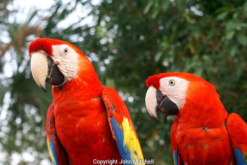 A pair of scarlet macaws or guacamayas at the recreation of an ancient Mayan market, Sacred Mayan Journey 2011 event, Riviera Maya, Quintana Roo, Mexico