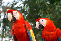 A pair of scarlet macaws or guacamayas at the recreation of an ancient Mayan market, Sacred Mayan Journey 2011 event, Riviera Maya, Quintana Roo, Mexico