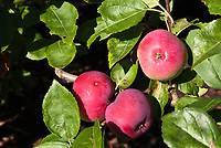 Malus domestica 'Vista-bella' (Apple) Dessert fruit, early eating apple, Vista Bella developed at Rutgers University in New Jersey, USA, in 1950, American apple