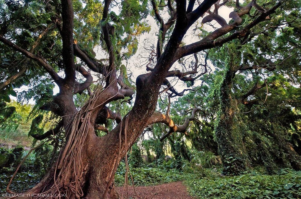 Banyan Forest
