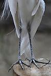 Great egret legs