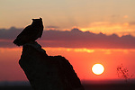 Great Horned Owl at Sunrise