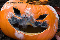 DC09-648z   Jack-o-Lantern Pumpkin placed in garden after Halloween. Molds growing on face,  Black Bread Mold, Rhizopus stolonifer