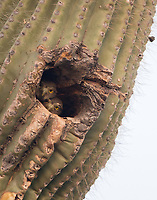 Two Cactus Ferruginous Pygmy-Owl nestlings peer from their cavity the night before fledging.