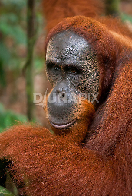 Intimate moment with a male Sumatran orangutan