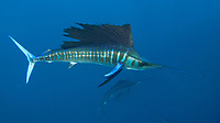 Atlantic sailfish, Istiophorus albicans, or Istiophorus platypterus, displaying vivid coloration typically seen while feeding. Isla Mujeres, Yucatan Peninsula, Mexico, Caribbean Sea, Atlantic Ocean