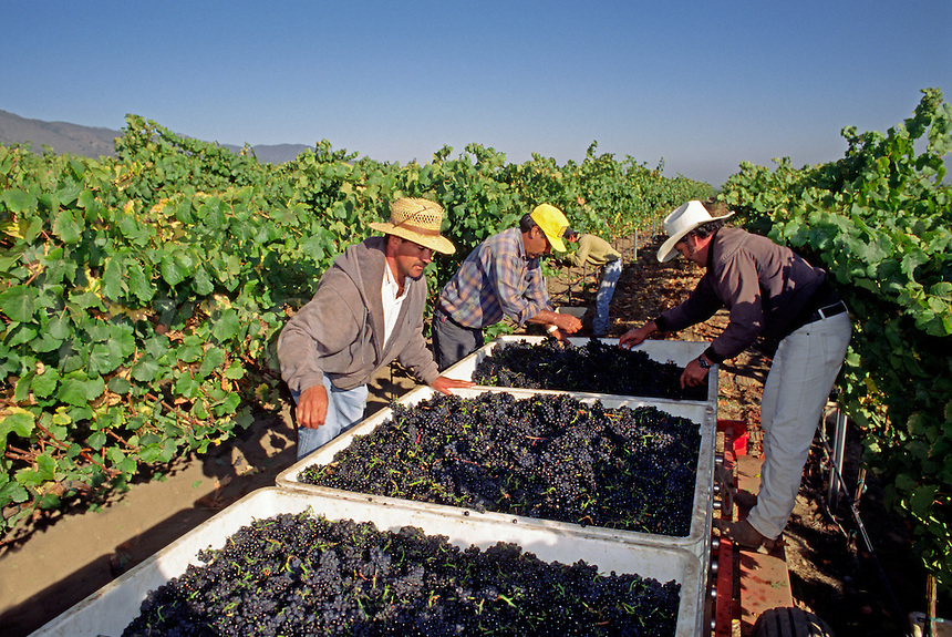 Farm workers inspect & clean PINOT NOIR GRAPES  freshly picked & headed for the crush - MONTEREY COUNTY, CALIFORNIA