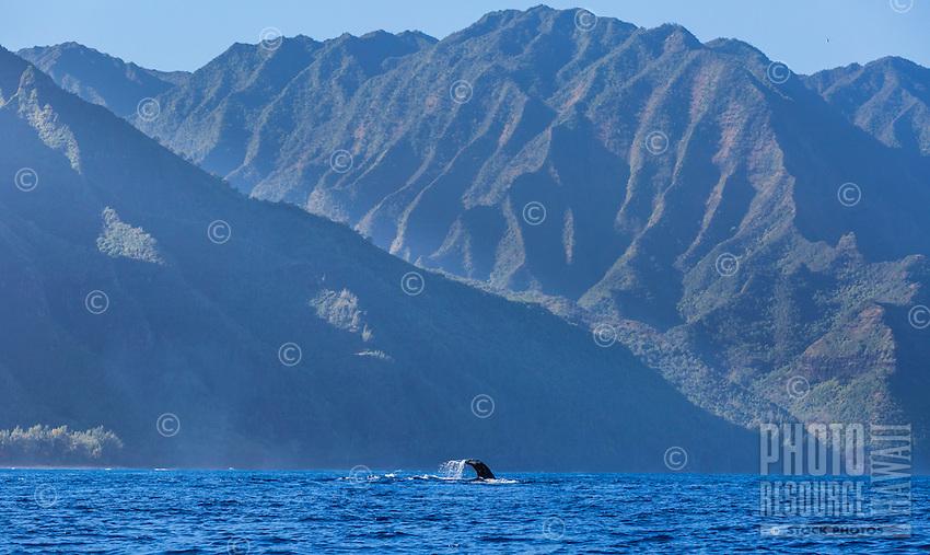 """A humpback whale does a """"fluke down"""" dive near the Na Pali Coast of Kaua'i."""