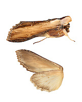 73.056 (2220)<br /> Water Betony - Cucullia scrophulariae