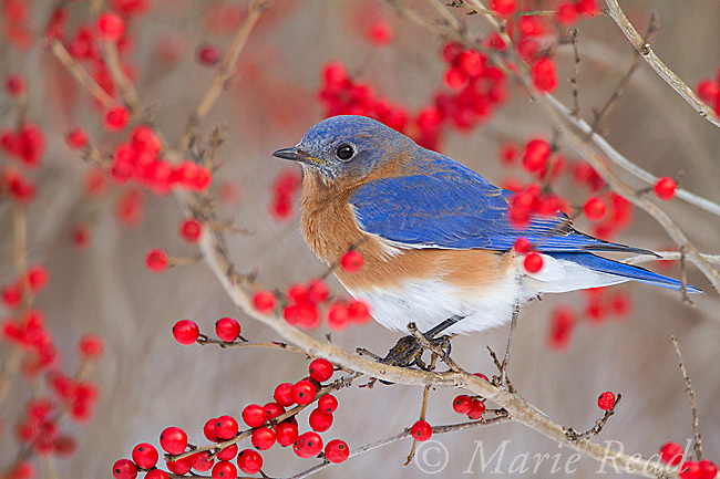 Eastern Bluebird (Sialia sialis) male perched amid winterberry (Ilex sp.) fruits in winter, New York, USA