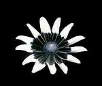 "Rudbeckia hirta ""Prairie Sun""  UV reflected light.  See image 3109263 and image 3109266"