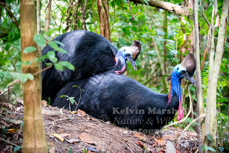 Southern Cassowary (Casuarius casuarius) mating, also known as the Double-wattled Cassowary, Australian Cassowary or Two-wattled Cassowary, is a large flightless black bird. It is a Ratite and therefore closely related to the Emu, Ostrich, and Rhea...