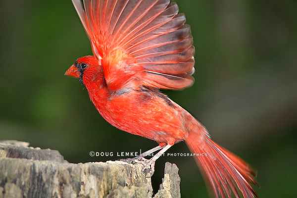 A Red Bird With Fully Splayed Wings In Motion, A Northern Cardinal Male Taking Flight Creating A Slight Motion Blur, Cardinalis cardinals, Southwestern Ohio, USA