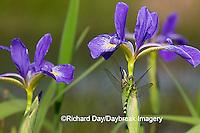 06593-007.15 Eastern Pondhawk (Erythemis simplicicollis) female on Blue Flag Iris (Iris virginica)  Marion Co. IL