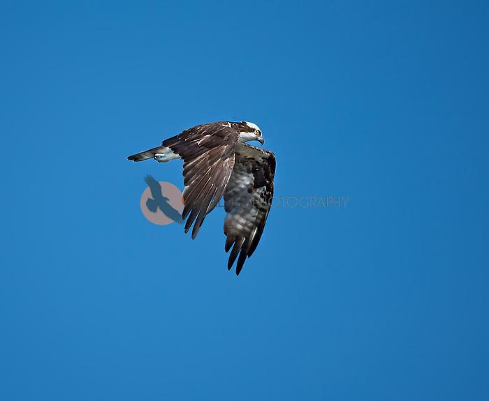 Osprey in flight against bright blue sky-wings are in  downstroke
