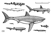 Sharks: 1 ornate wobbegong, Orectolobus ornatus; 2 goblin shark, Mitsukurina owstoni; 3 scalloped hammerhead, Sphyrna lewini; 4 great white shark, Carcharodon carcharias; 5 velvet belly lanternshark, Etmopterus spinax; 6 horn shark, Heterodontus francisci; 7 broadnose sevengill shark, Notorynchus cepedianus; 8 frilled shark, Chlamydoselachus anguineus, pen and ink illustration.