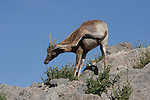 Desert bighorn sheep scratching itself with leg
