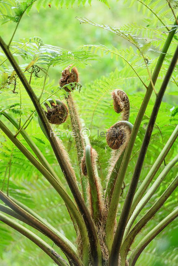 France, Le Domaine du Rayol: le jardin de Nouvelle-Zélande. Crosses de fougère arborescente (Dicksonia & Cyathea).