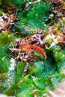 Stoplight parrotfish, Sparisoma viride, Bonaire, Caribbean Netherlands, Caribbean