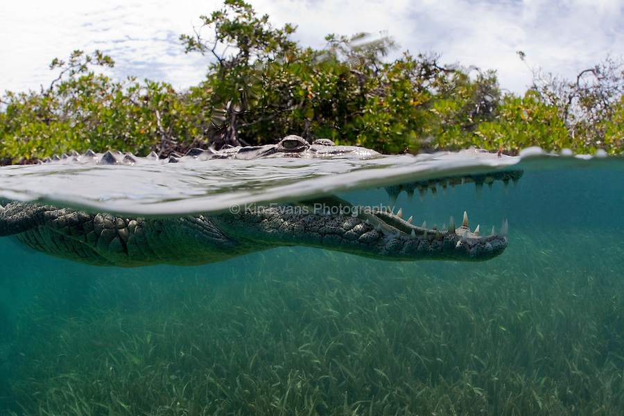 A split-water view of an American Crocodile swimming off the coast of Cuba.