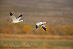 Snow Geese (Chen caerulescens) 2 adults white form in flight, Bosque Del Apache National Wildlife Refuge, New Mexico, USA