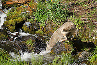Wild Coyotes (Canis latrans)--fishing in a stream for cutthroat trout in Rocky Mountains.  June.